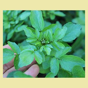 watercress-seeds