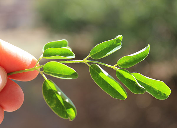 what-is-moringa-plant