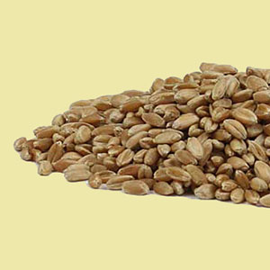 wheat sprouting seeds mrh