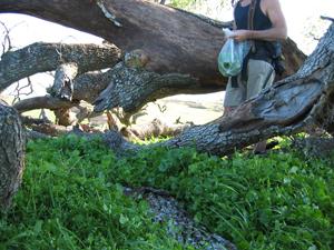 wild-edible-plants-harvesting