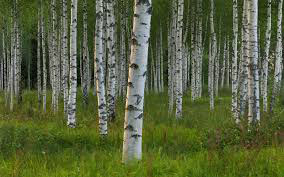 xylitol-benefits-from-birch